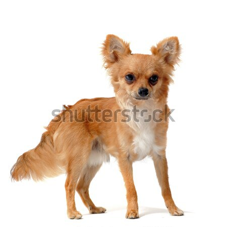puppies chihuahua Stock photo © cynoclub