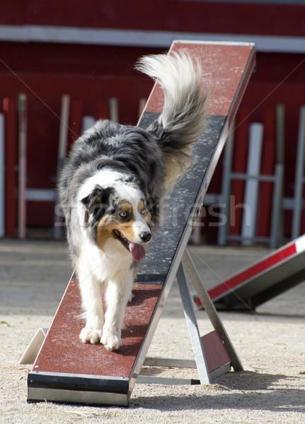オーストラリア人 羊飼い アジリティ 競争 犬 ストックフォト © cynoclub