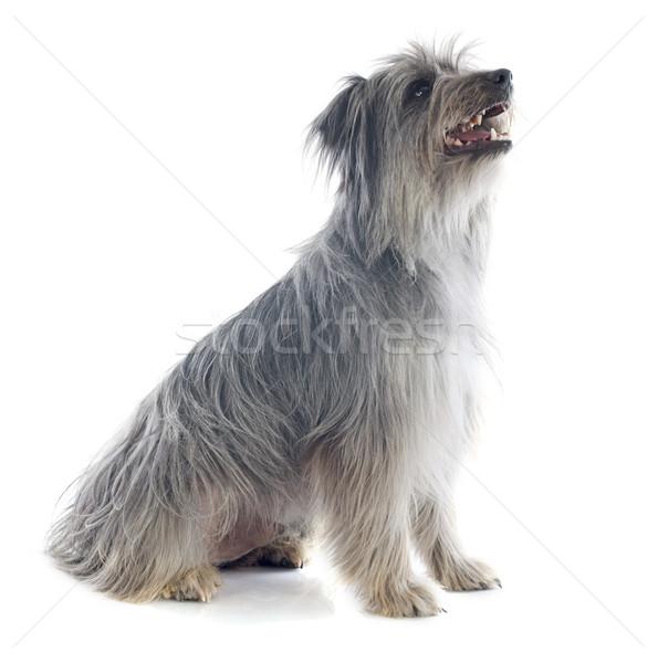 çoban köpeği portre beyaz köpek oturma evcil hayvan Stok fotoğraf © cynoclub