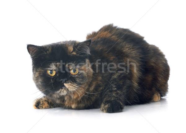 ストックフォト: エキゾチック · ショートヘア · 猫 · 白