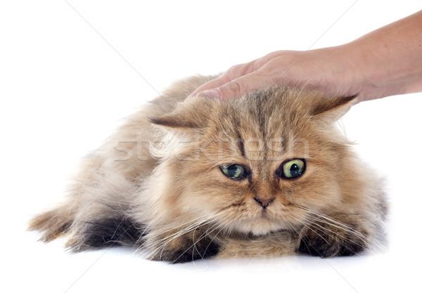 Perzische kat witte hand kat witte achtergrond bruin Stockfoto © cynoclub