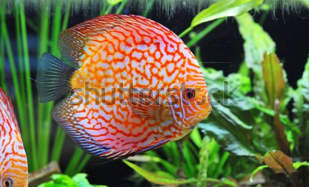 red discus fish Stock photo © cynoclub