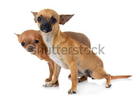 Kutyakölyök labrador retriever fehér kutya fiatal stúdió Stock fotó © cynoclub