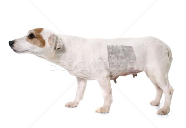 Sérülés terrier fehér kutya gyógyszer stúdió Stock fotó © cynoclub