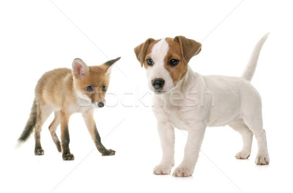 red fox cub and dog Stock photo © cynoclub
