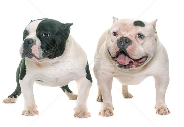 ストックフォト: 2 · アメリカン · 犬 · 黒 · 子犬 · ペット