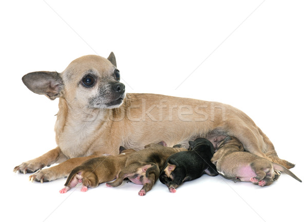 family of chihuahua Stock photo © cynoclub