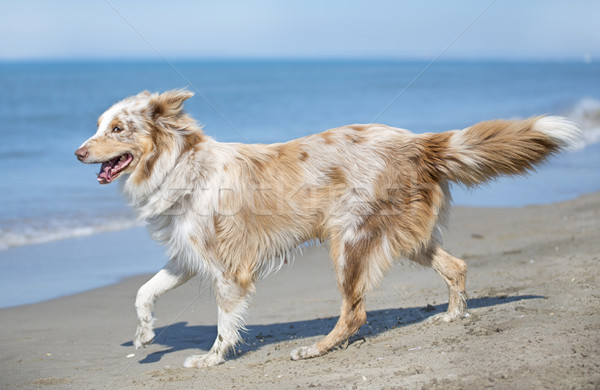 australian shepherd on the beach Stock photo © cynoclub