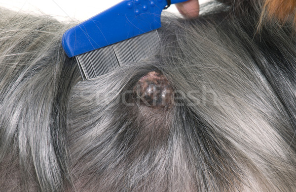 tumor on dog Stock photo © cynoclub