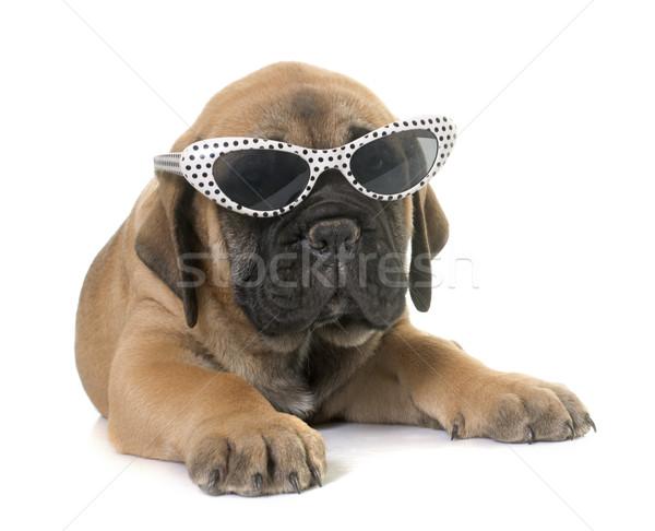 щенков бык дог белый очки молодые Сток-фото © cynoclub
