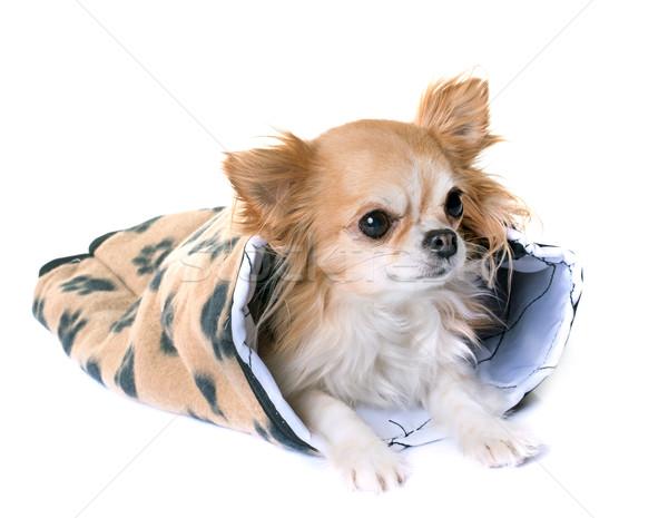 подушка белый собака играет ПЭТ изолированный Сток-фото © cynoclub