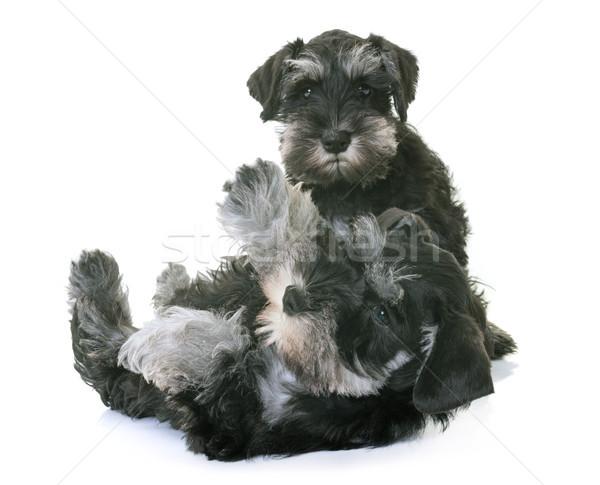 Zdjęcia stock: Szczeniąt · miniatura · biały · psa · powrót