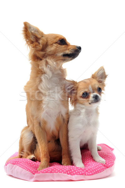 ストックフォト: 子犬 · 成人 · 肖像 · かわいい · 白
