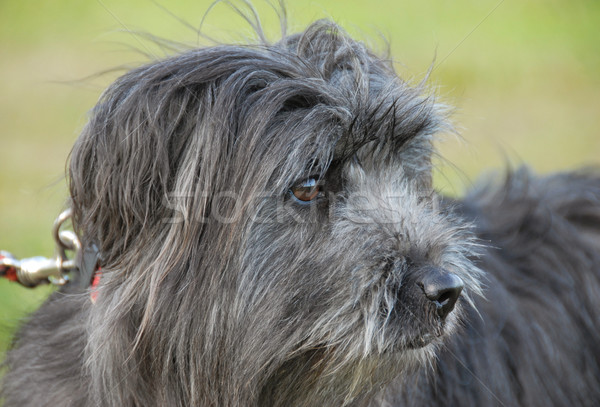 Chien de berger portrait jardin chien belle animal Photo stock © cynoclub
