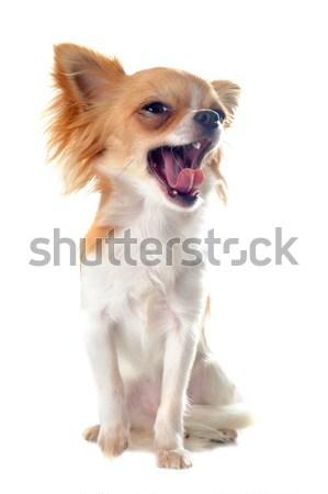 ásít portré aranyos kutyakölyök fogak fiatal Stock fotó © cynoclub