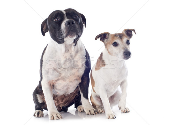 staffordshire bull terrier and jack russel terrier Stock photo © cynoclub