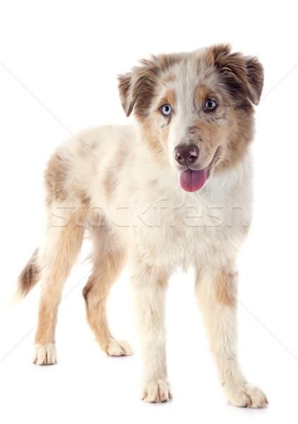 子犬 オーストラリア人 羊飼い 白 犬 小さな ストックフォト © cynoclub
