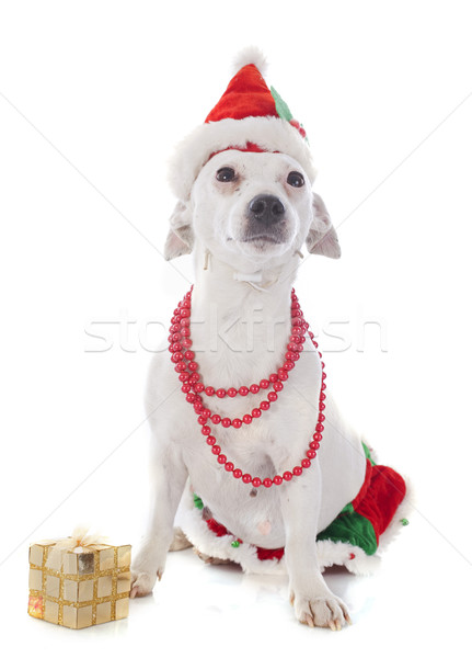 jack russel terrier and gift Stock photo © cynoclub