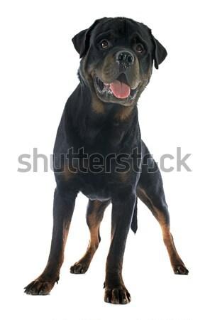Rottweiler portré fajtiszta fehér díszállat fehér háttér Stock fotó © cynoclub
