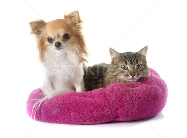 tabby cat and chihuahua Stock photo © cynoclub