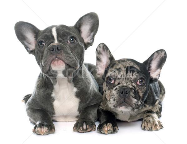 puppies french bulldog Stock photo © cynoclub