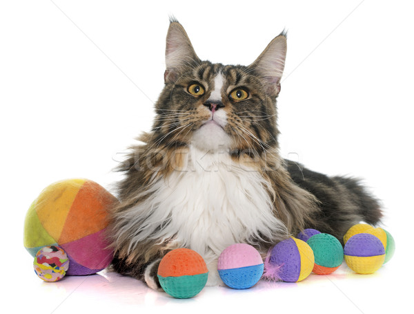 maine coon cat and toys Stock photo © cynoclub