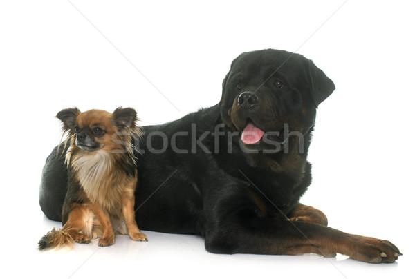 Rottweiler yetişkin erkek beyaz arkadaşlar stüdyo Stok fotoğraf © cynoclub