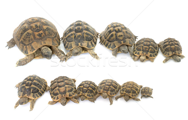 Hermanns Tortoise and baby turtles Stock photo © cynoclub