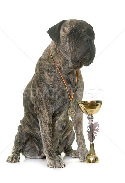бык дог Кубок белый собака женщины Сток-фото © cynoclub