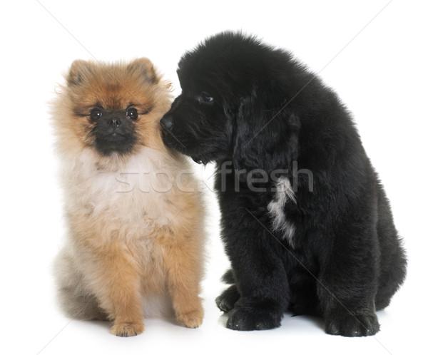 Szczeniak nowa fundlandia psa znajomych zwierząt Zdjęcia stock © cynoclub