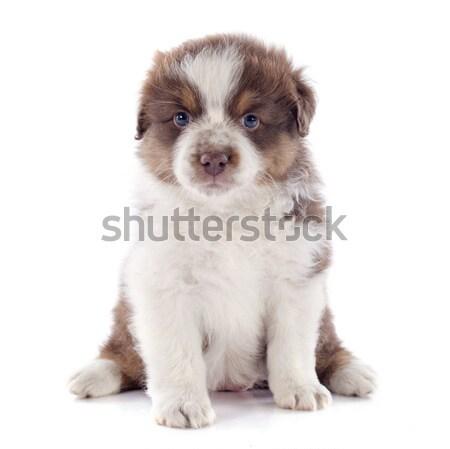 puppy shih tzu Stock photo © cynoclub