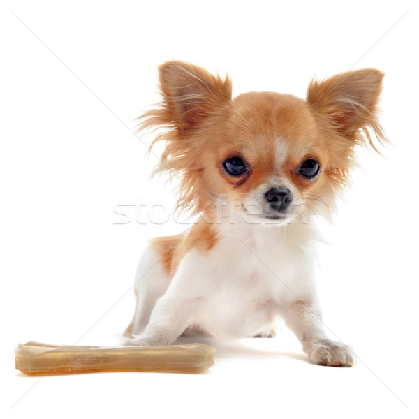 puppy chihuahua and bone Stock photo © cynoclub
