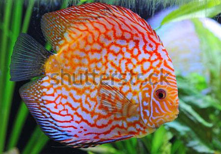 discus Stock photo © cynoclub