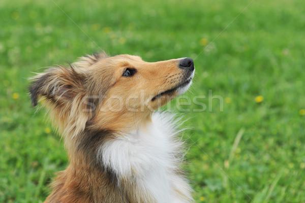 puppy shetland Stock photo © cynoclub