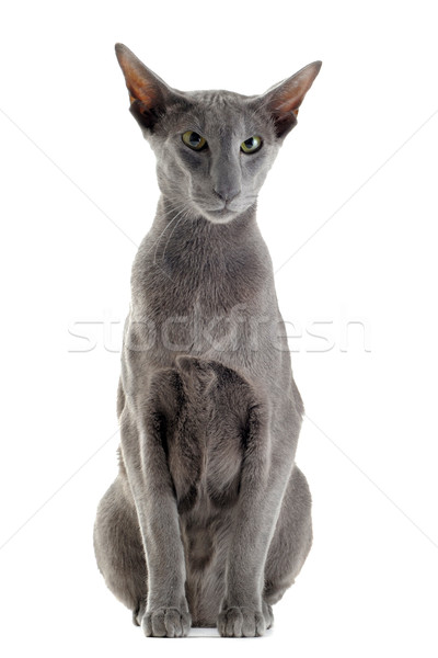 серый кошки портрет белый сидят Сток-фото © cynoclub