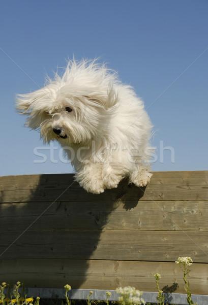 jumping little white dog Stock photo © cynoclub