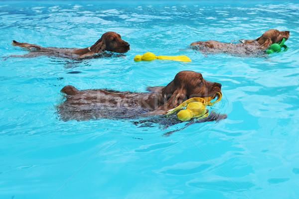 swimming cocker Stock photo © cynoclub