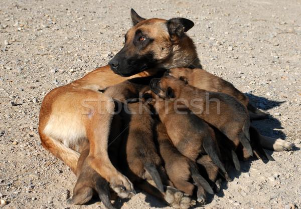 женщины пастух щенки одиннадцать Сток-фото © cynoclub