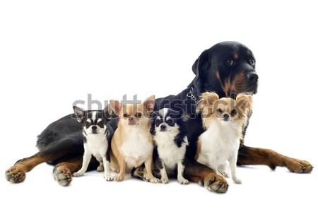 Rottweiler portré fajtiszta csoport fekete fiatal Stock fotó © cynoclub