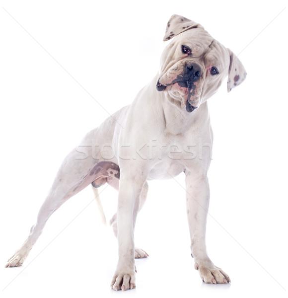 Amerikai bulldog fehér állat férfi bulldog fehér háttér Stock fotó © cynoclub