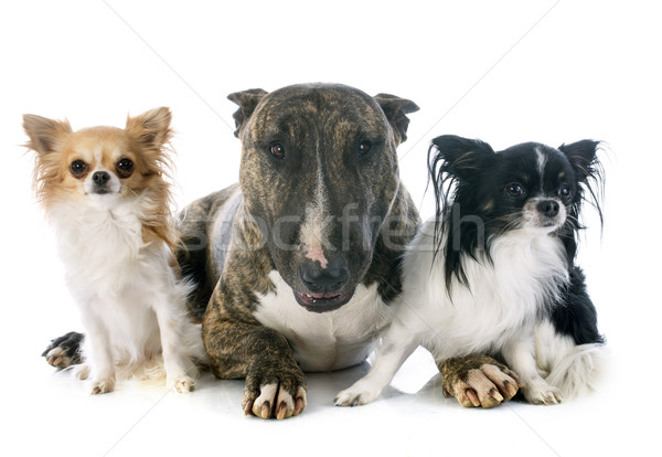 bull terrier and chihuahuas Stock photo © cynoclub