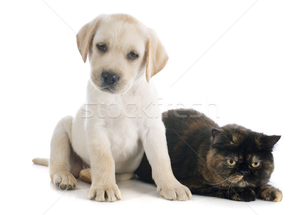 Exotique shorthair chat chiot labrador retriever blanche Photo stock © cynoclub
