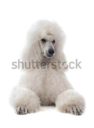 white Standard Poodle Stock photo © cynoclub