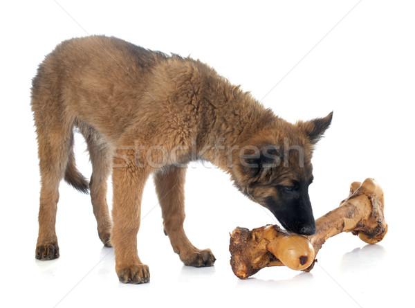 Belgian Shepherd Tervuren and bone Stock photo © cynoclub