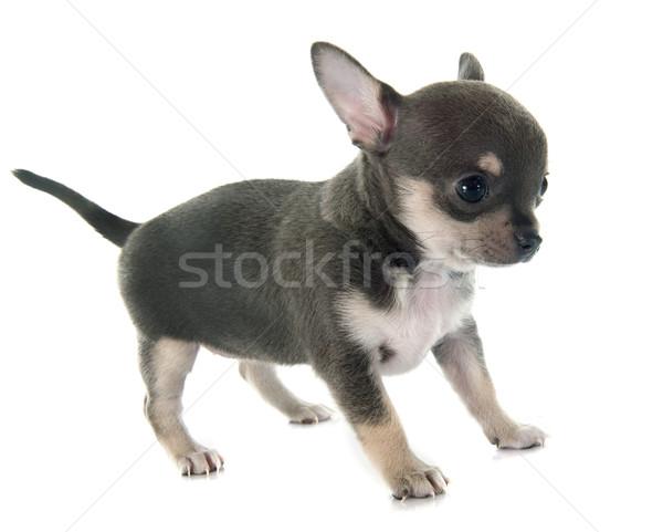 子犬 動物 孤立した 白地 グレー ストックフォト © cynoclub