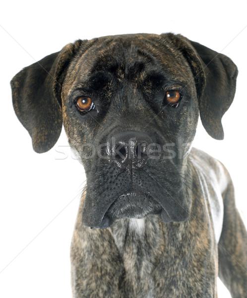 итальянский дог белый собака портрет молодые Сток-фото © cynoclub