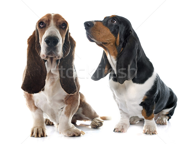 senior and young Basset Hound Stock photo © cynoclub