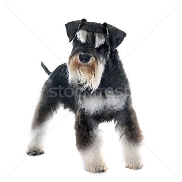 adult miniature schnauzer Stock photo © cynoclub