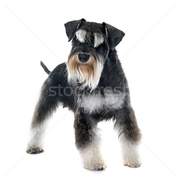 Adulto miniatura schnauzer cachorro branco preto Foto stock © cynoclub