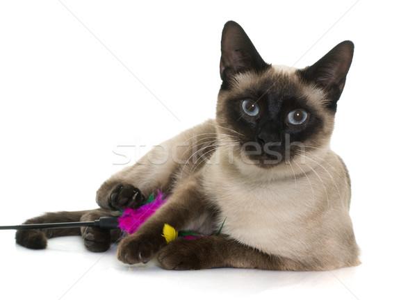 Fiatal sziámi macska fehér szemek játék kiscica Stock fotó © cynoclub
